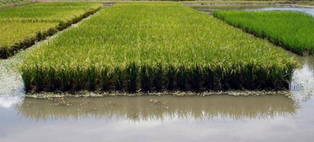 Trabalhadores da rizicultura podem ser inseridos no Programa Mão Amiga