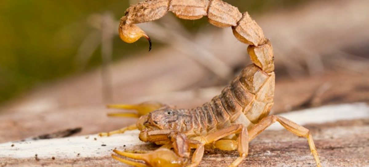 SES explica o que fazer em caso de picada de escorpião