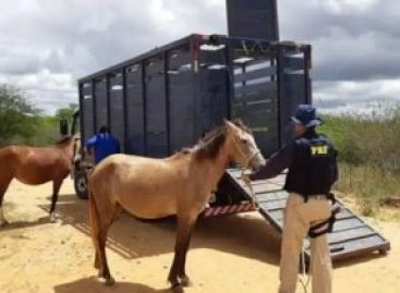 PRF identifica dono de animais soltos na BR 235 em Itabaiana