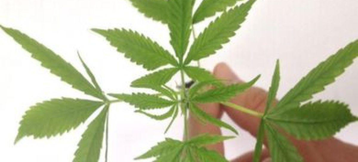Registro para vender produtos de cannabis pode ser pedido online