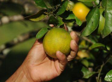 Trabalhadores da colheita da laranja recebem 2ª parcela do Programa Mão Amiga nesta quarta,30
