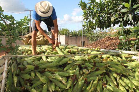 Sergipe deve continuar como 4º maior produtor de milho do Nordeste em 2021